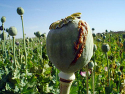 opium extraction from poppy flower