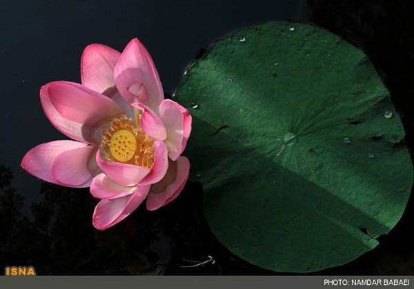 Photos the blossoming of lotus water flowers in amol iran mightylinksfo